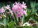 Pink Hyacinth