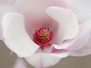 Inside a Magnolia Tree Blossom