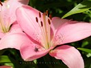 Fly on Pink Lily