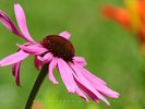 Echinacea - Sideview