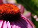 Echinacea - Close-up