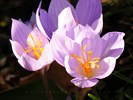 Crocii