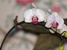 Orchid - Phalaenopsis