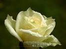 Rain Burdened White Rose