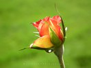 In Search for the Perfect Raindrop - Red/Yellow Rose