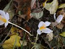 White Autumn Crocus