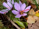 Saffron Crocus