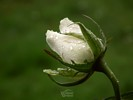 White Rose in the Rain