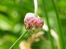 Garlic Seed Pod