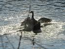Canada Geese Fighting