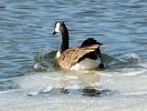 Canada Goose - Going for a Swim