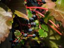 Wild Grapes in Autumn