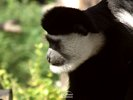 Mantled Guereza -  Eastern Black and White Colobus