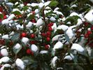 Holly Bush in Winter