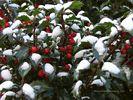 Holly Bush in Winter