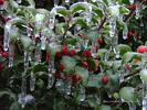 Ice Covered Holly Bush