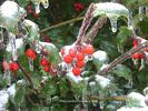 Holly In Ice