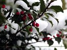 Snow Covered Holly Bush