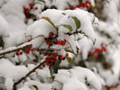 Snow Burdened Holly Bush