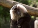 Lion-tailed Macaque - Wanderoo - Beard Ape
