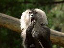Lion-tailed Macaque - Wanderoo - Beard Ape - with Toothpick