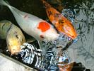 Koi Fish