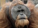 Bornean Orangutan - Portrait