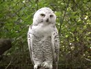 Snowy Owl in Hambrug Zoo - Hamburg - Germany