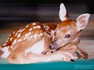 Fawn Snoozing