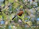 Robin - Magnolia Tree