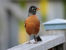 Urban Wildlife - Robin
