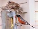 Urban Wildlife - Robin Hunting