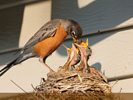 Urban Wildlife - Robin Feeding Chicks
