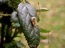 Spider on Rose Leaf