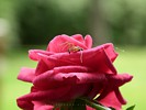 Spider on Red Rose