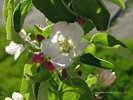 Granny Smith Apple Blossoms