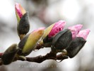 Magnolia Flower Bud after Spring Rain
