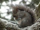 Snow Storm - Snow Covered Grey Squirrel