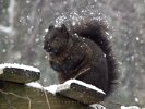 Snow Storm - Snow Covered Black Squirrel