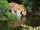 Tiger Drinking from Pond in Hamburg Zoo - Hamburg - Germany