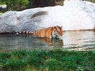 Siberian Tiger Bathing