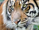 Sumatran Tiger Close-Up