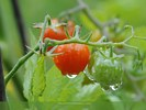 Cherry Tomato Plant After Rain