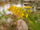 Goldenrod in Fall