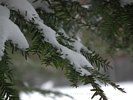 The First Snow Storm - Snow Covered Pine